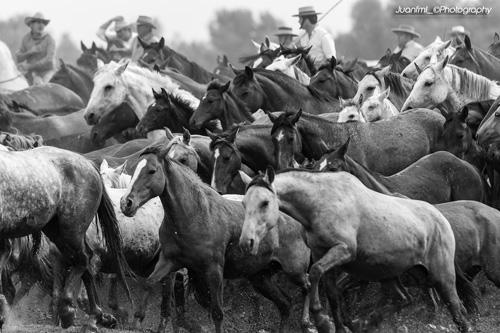 Vuelve la Saca de las Yeguas – Almonte
